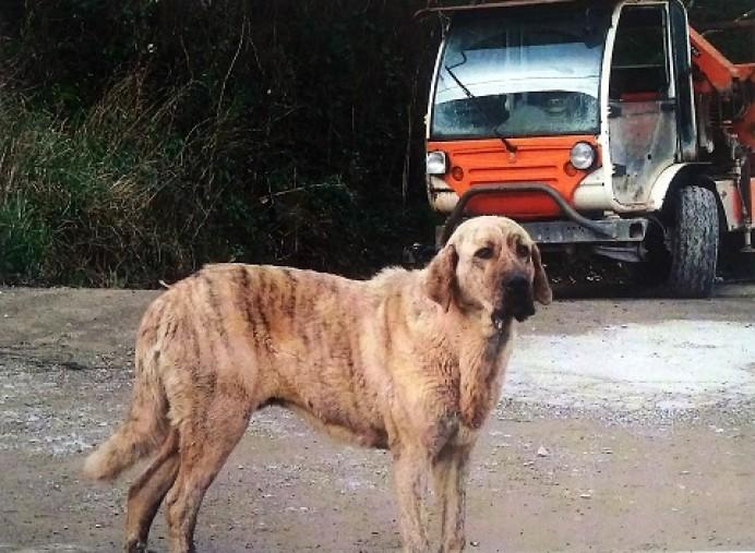 En la zona de Loroñe ha aparecido este perro adulto de raza mastín