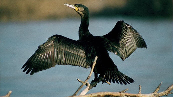 El Principado sigue las matanzas de cormoranes para contentar a los pescadores
