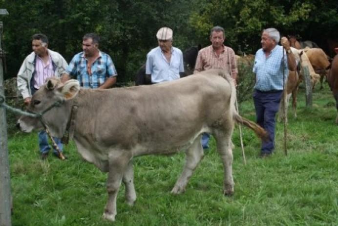 Concurso comarcal de ganado vacuno Nuestra Señora de Loreto en Colunga
