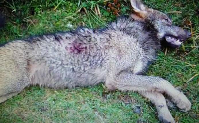 EQUO: Comunicado sobre las amenazas al lobo ibérico