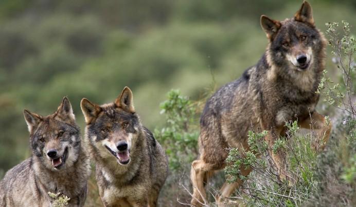 El nuevo programa de gestión del lobo del Principado incluye controles de población para evitar que los ataques comprometan las explotaciones ganaderas