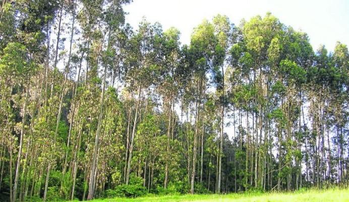El Principado es un coladero de plantaciones de eucalipto