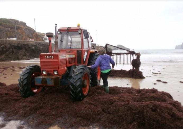 El Principado incumple el marco ambiental y administrativo para autorizar el arranque de algas en nuestro litoral