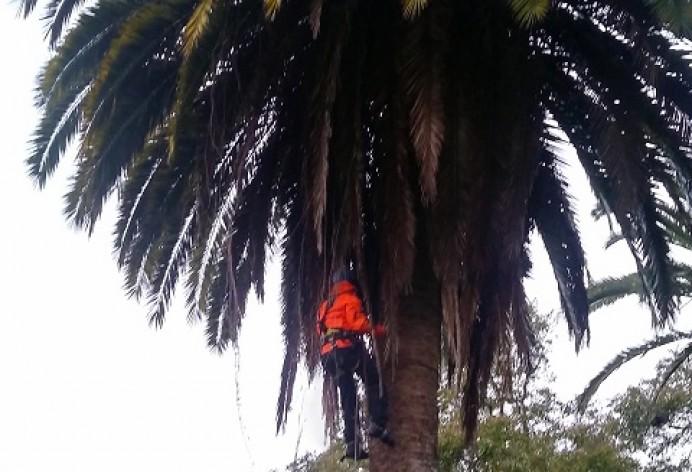 Poda de palmeras en el Parque de Colunga