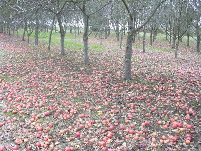 IU explorará vías para relanzar el mercado de la manzana de sidra autóctona