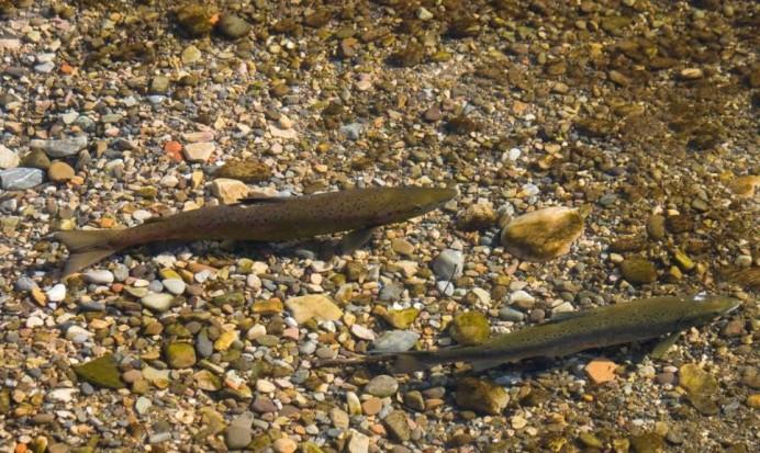 La venta del salmón esta ayudando a acabar con el en los ríos asturianos